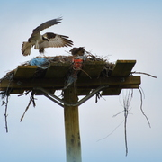 Romeo_2013_nest_building_vignette_card