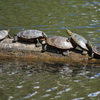 Turtles_4_thumb