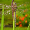 Dragon_fly_thumb
