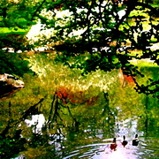 Duck_pond_copy_card