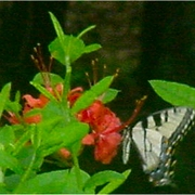 Azalea_bush_and_butterfly_card