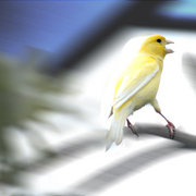 Yellow_bird_card
