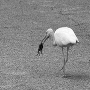 Egret_with_frog_b_w_card