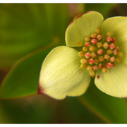 Bunchberry_card