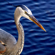 Blue_heron_half_card