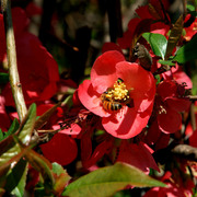 Bee_on_red_flowers3