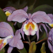 Orchids__1_card