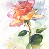 Rose1_kopie_thumb