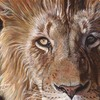A-lion-face-11x14-0509_thumb
