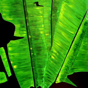 Banana_leaves_card