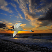 1018-swan_sunset_card
