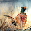 Pheasant2_thumb