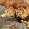 Lions1_copy_thumb