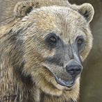 Grizzly Bear by Michael Moore