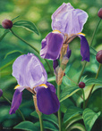 Two Purple Irises by Rhea Saint
