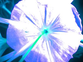 FIORE GRANDE (GIANT FLOWER), 120 X 160 CM