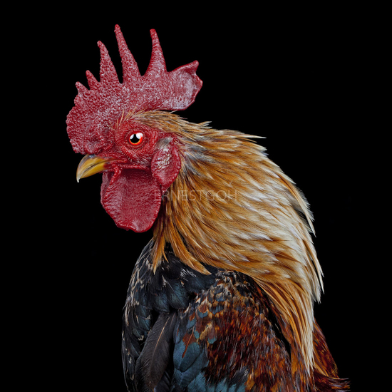 Cocks Headshots 011