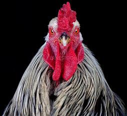 Cocks Headshots 006