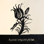 Agave_angustifolia