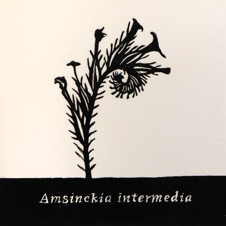 Amsinckia_intermedia