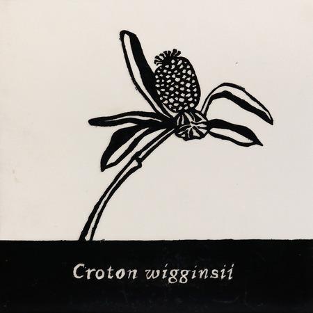 Croton_wigginsii