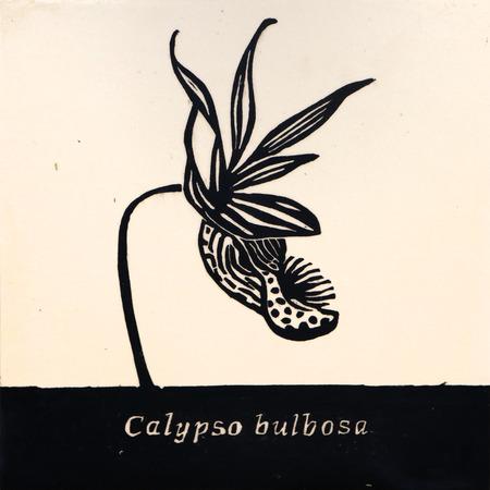Calypso_bulbosa