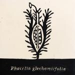 Phacelia_gechomiifolia