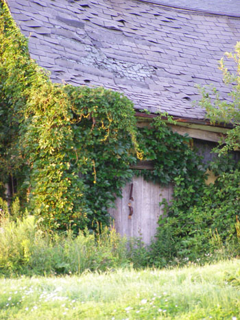 Old earth-embedded potato house with its sides and door overgrown with Bittersweet vine.