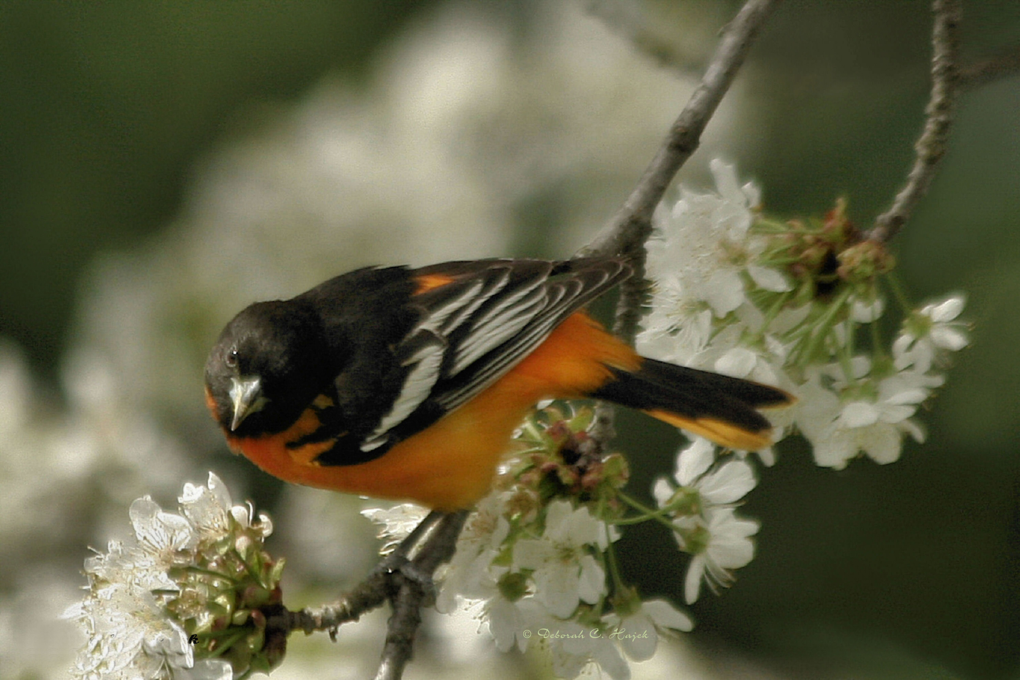 Oriole among cherry blossoms