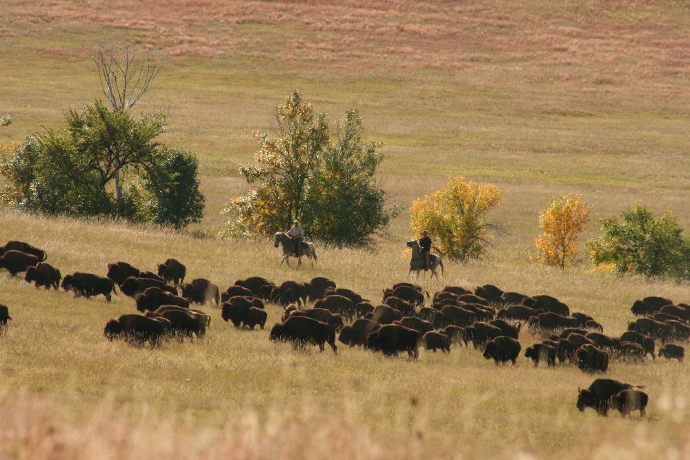 Buffalo roundup - September 2011