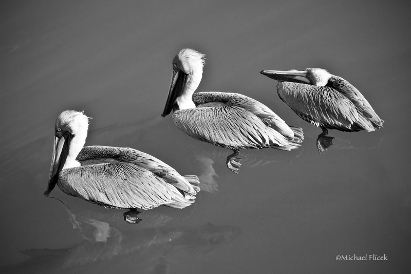 Pelicans and  Tarpon in Key West, Florida