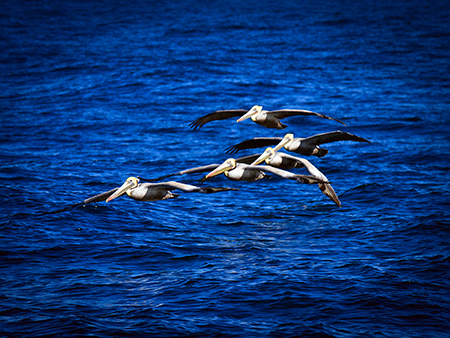 Formation of Brown Pelicans