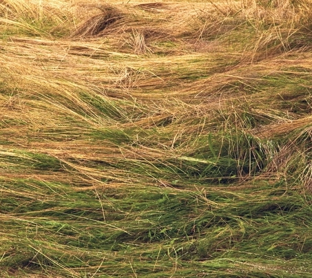 (image: Monhegan Grass)