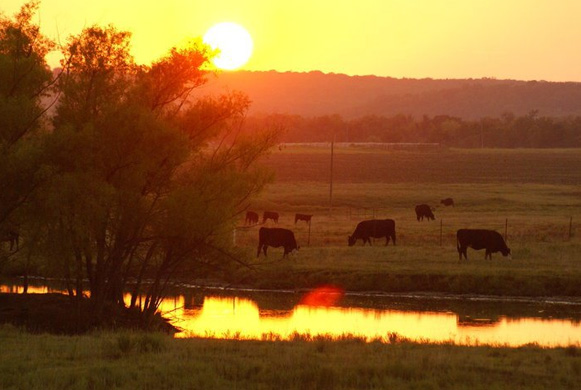 Sun setting over the cattle