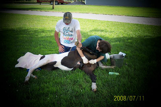 Dr. Laura performing a procedure on a Mo. foxtrotter colt.
