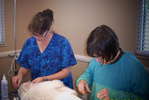 Kari T. & Dr. Laura performing surgery on a white dog