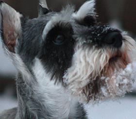Schnauzer dog in the snow