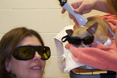 Chihuahua Receiving Laser Therapy