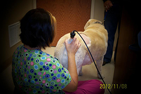 Lisa treating a Labrador with arthritis with laser therapy.