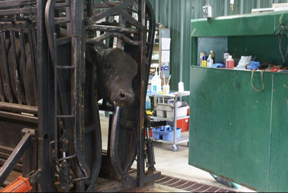 Large Animal hydraulic chute