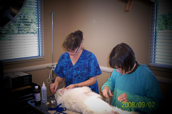 Kari T. and Dr. Laura performing a procedure on a white dog