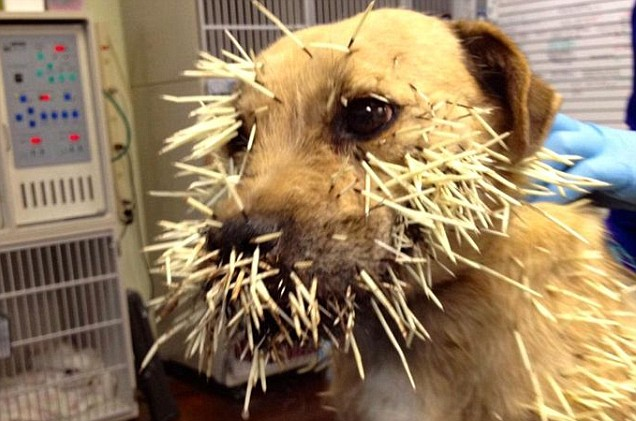 Dog with quills on his face