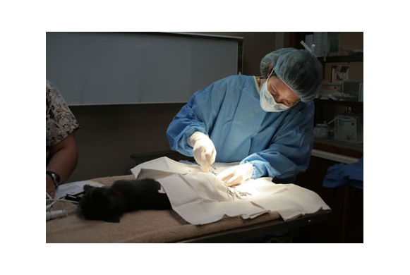 Cat in surgery