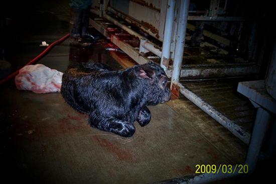 A newborn bull calf
