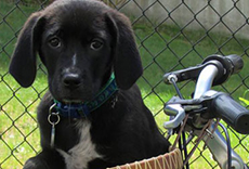 Black dog in a bicycle basket