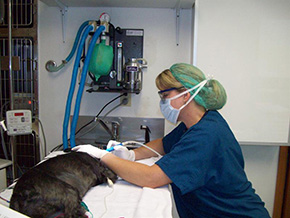 Dog getting a dental cleaning