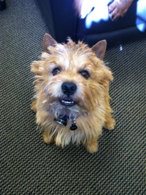 Norwich Terrier Forrest