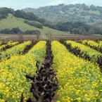 Mustard_in_the_vineyard_b_1