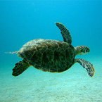 Turtle_b_1