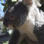 Koala_at_taronga_zoo_b_1